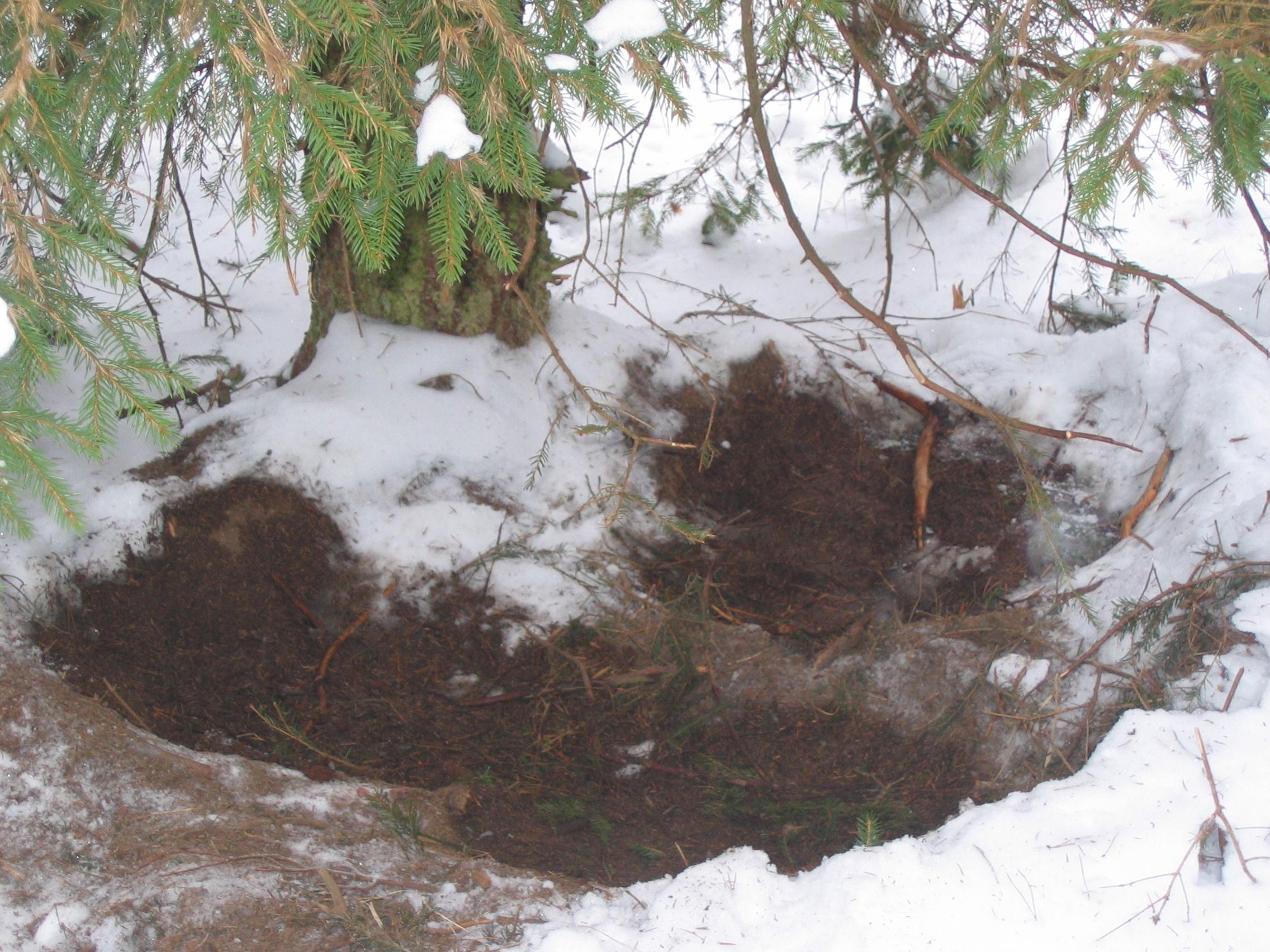 Powyżej: legowisko wilków Puszcza Augustowska, fot. Łukasz Ołdakowski