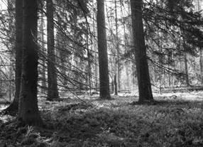 Świerki zaatakowane przez kornika zamierają i zostają w lesie. Fot. G. Hebda