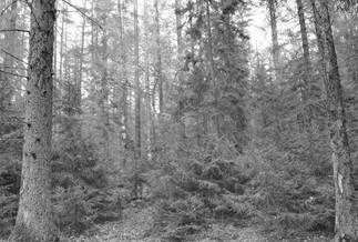 Takie zmiany zachodzą w ciągu mniej niż dziesięciu lat od śmierci dużych drzew. Fot. A. Bohdan