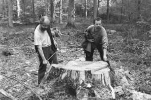 Zaatakowanie przez korniki jest uzasadnieniem dla wycinania nawet najstarszych i najpotężniejszych i świerków (ponad 250 lat, 40 m wysokości). Fot. Autor nieznany