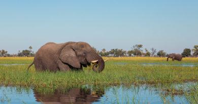 Tajemnicze wymieranie słoni w Botswanie