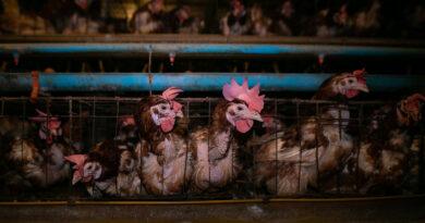 Pierwsi ludzie zakażeni nowym wirusem ptasiej grypy