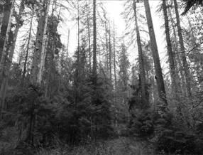 Martwe świerki przewracając się, tworząc osłonę dla młodych drzewek. Fot. G. Hebda