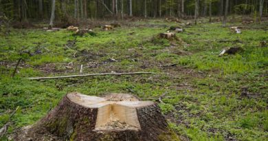 Zamiary Ministerstwa Środowiska w sprawie Puszczy Białowieskiej