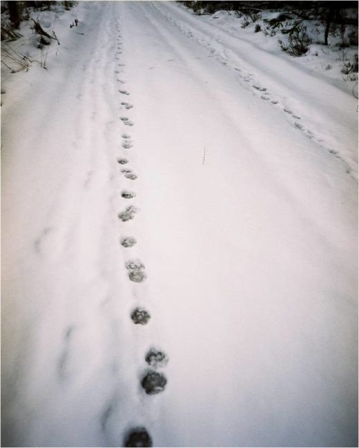 nieliniowy ciąg tropów wilków tzw. trot, Puszcza Augustowska, fot. Katarzyna Kotiuk